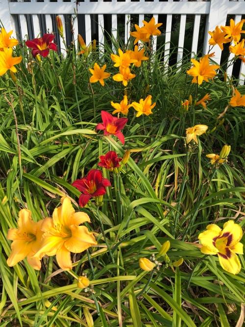 072820-varied-lilies