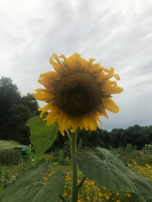 080420-sunflower-on-gray-day