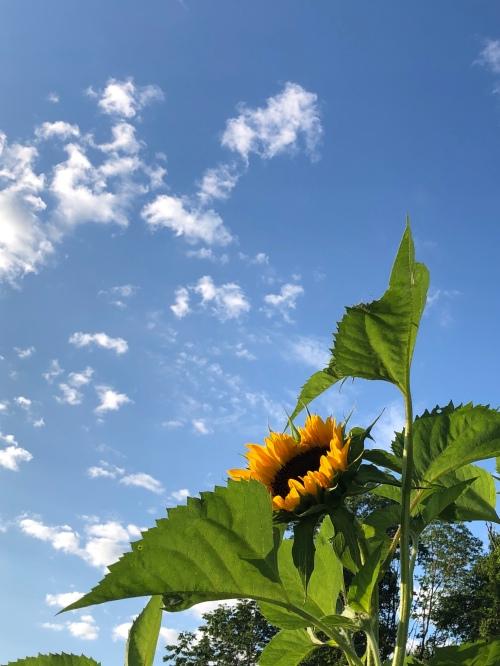 080620-sunflower-in-community-garden