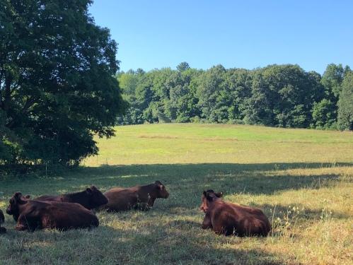 081920-cows