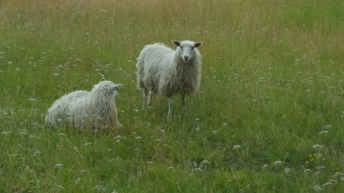 20200729-sheep-in-Skogen-Sweden