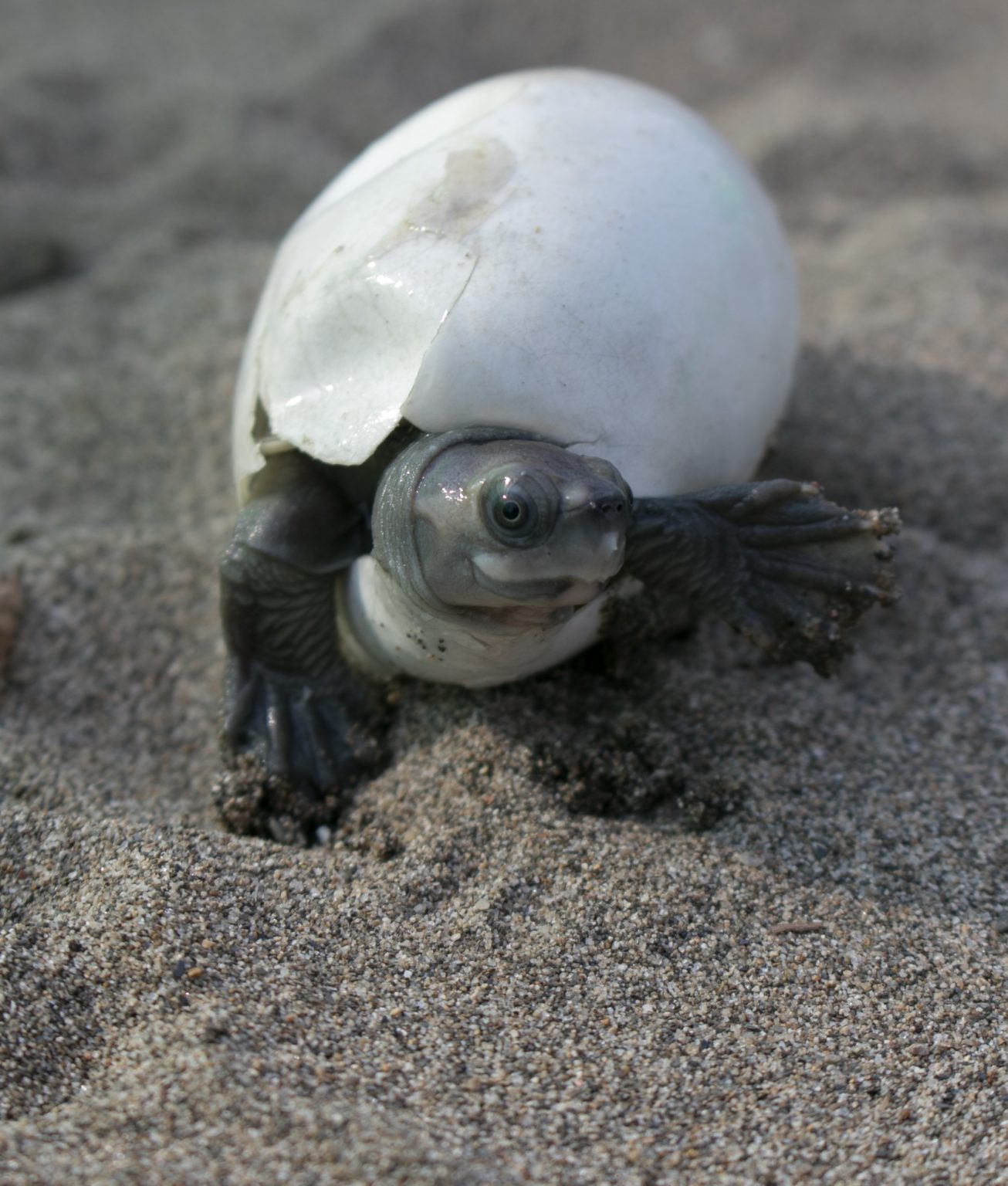 burmese-roofed-turtle-hatchling3-credit-myo-min-winwcs-myanmar-1306x1536-1