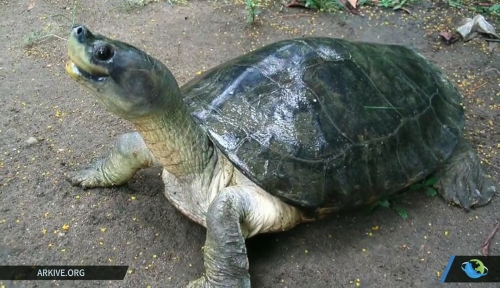 rare-myanmar-turtles-bred-in-captivity-released-into-the-wild